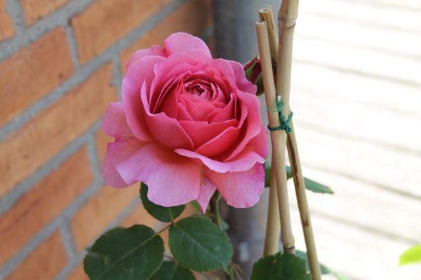 Rose Kopie